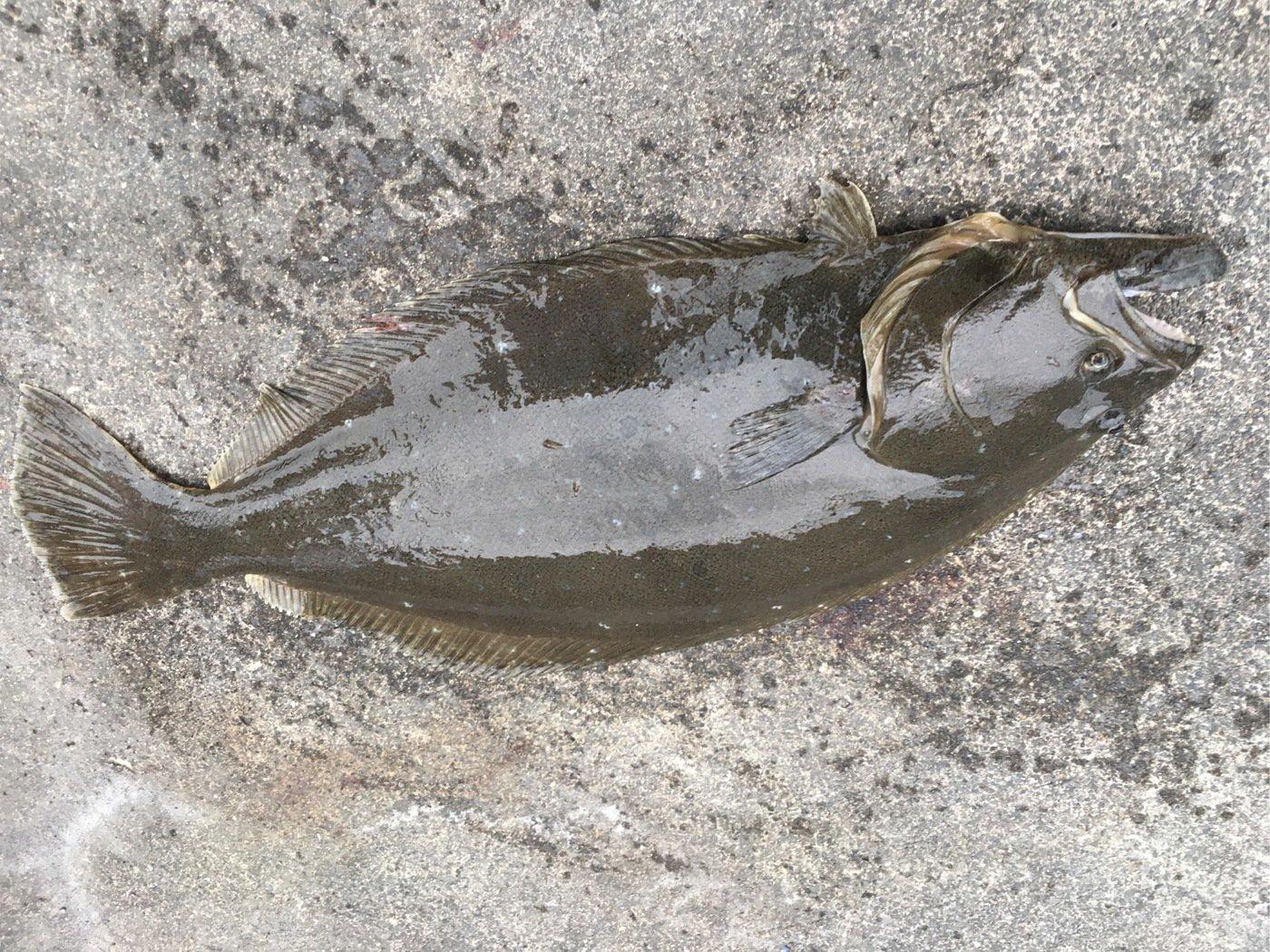イナバーさんの投稿画像,写っている魚はヒラメ