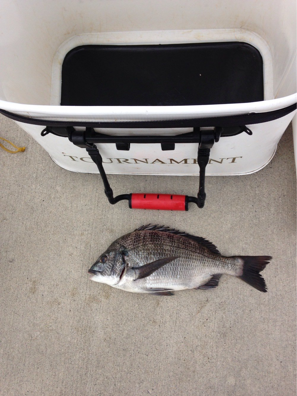 ドサケンさんの投稿画像,写っている魚はクロダイ