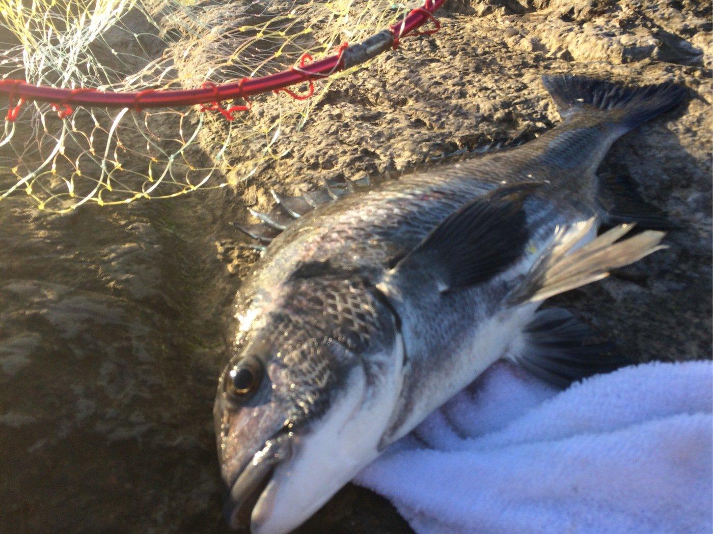 oceanさんの投稿画像,写っている魚はクロダイ