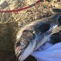 oceanさんの千葉県習志野市でのクロダイの釣果写真