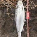 釣りバカさんの北海道広尾郡での釣果写真