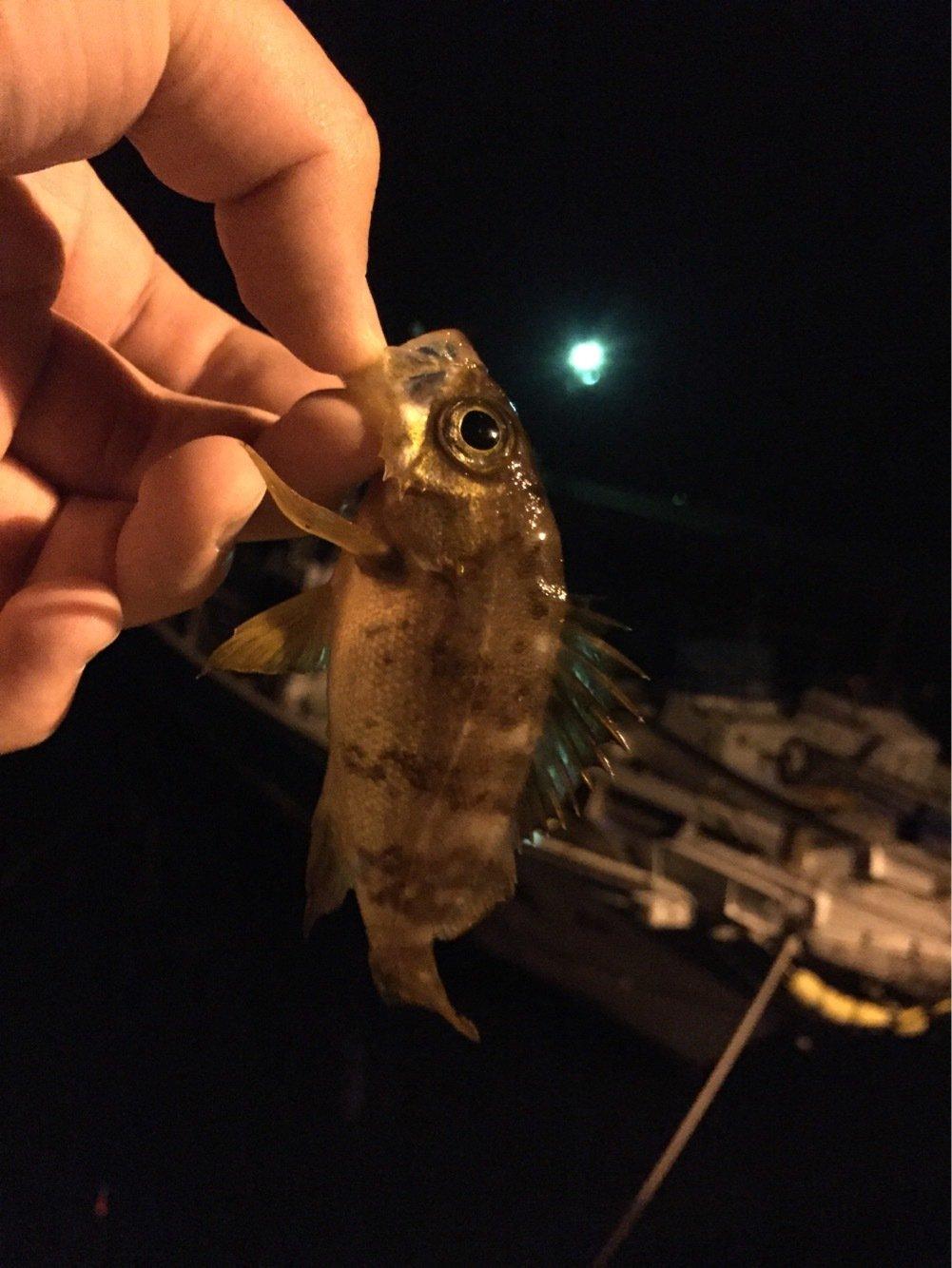 sJimさんの投稿画像,写っている魚はメバル