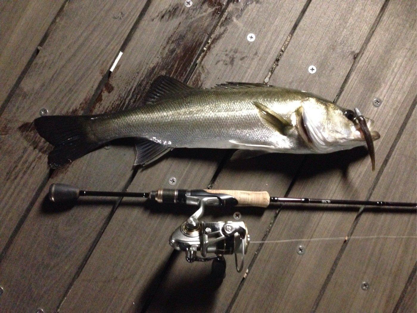いっぺいさんの投稿画像,写っている魚はスズキ