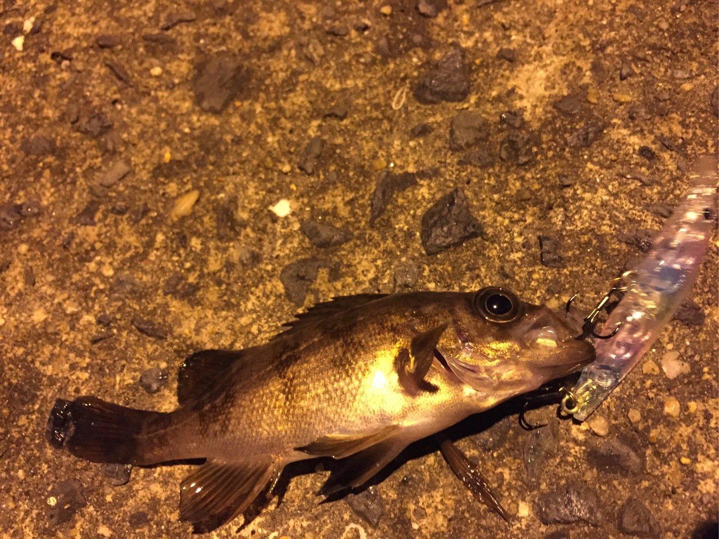 Ryutoさんの投稿画像,写っている魚はメバル