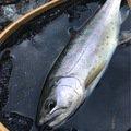 yukidarumaさんの神奈川県でのヤマメの釣果写真