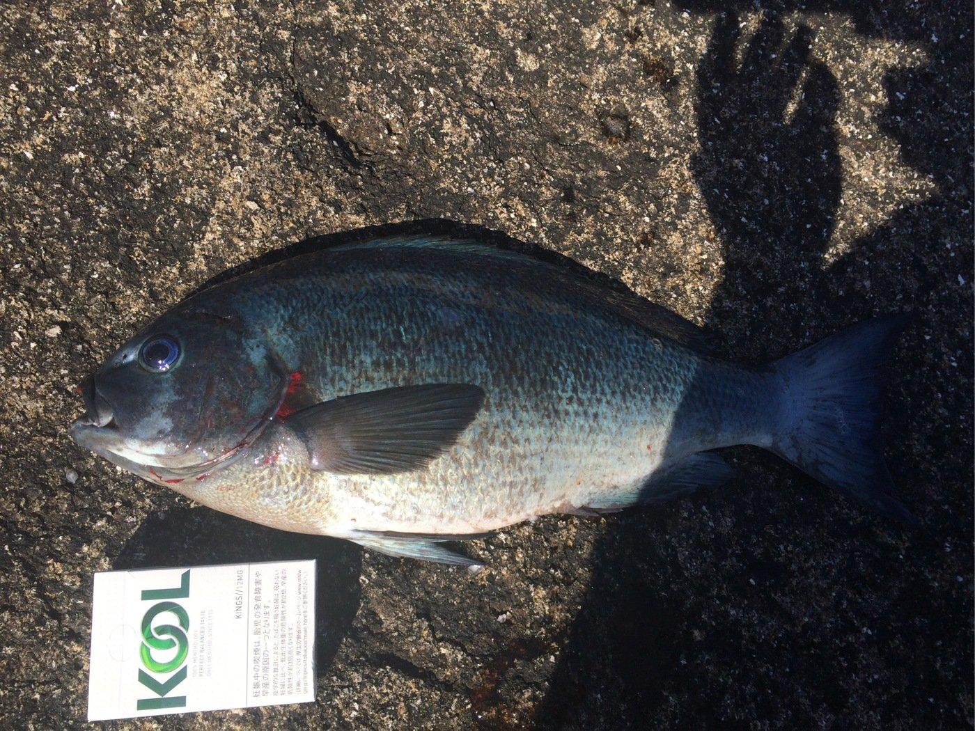 田辺 浩士さんの投稿画像,写っている魚はクロメジナ