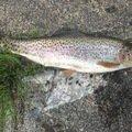 kenkenさんの北海道上川郡での釣果写真