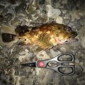 英信さんの宮崎県串間市でのカサゴの釣果写真