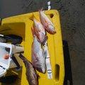 とりのさんの長崎県西海市でのマダイの釣果写真