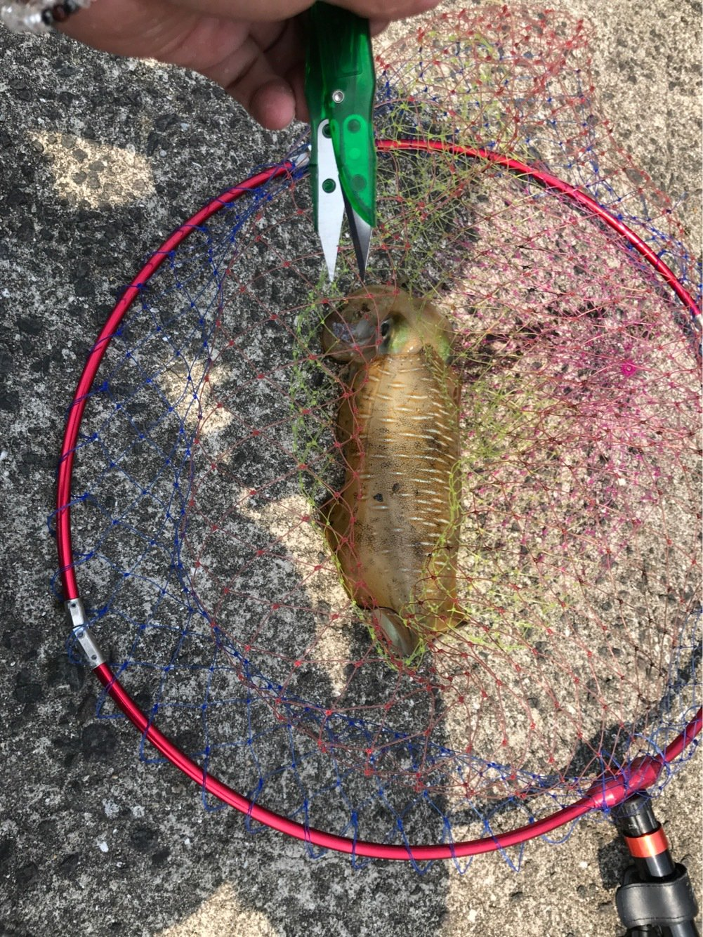 だーほんさんの投稿画像,写っている魚はアオリイカ