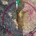 だーほんさんの長崎県雲仙市でのアオリイカの釣果写真