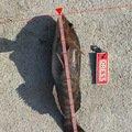 タカさんの宮城県名取市でのアイナメの釣果写真