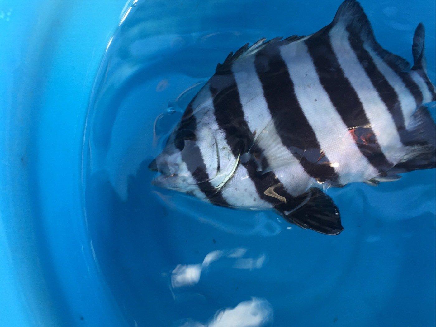 長嶋賢治さんの投稿画像,写っている魚はイシダイ