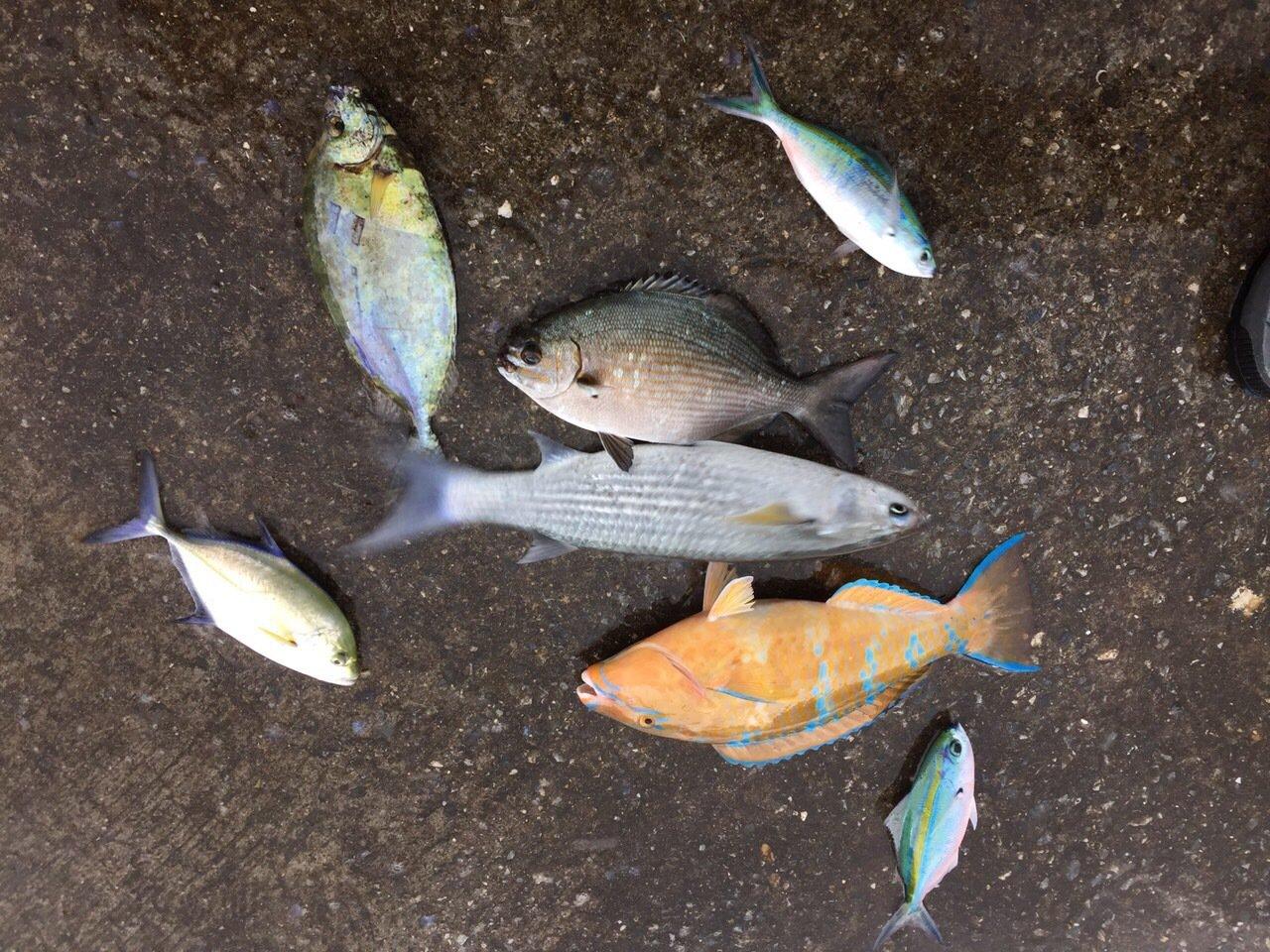 こーじさんの投稿画像,写っている魚はブダイ