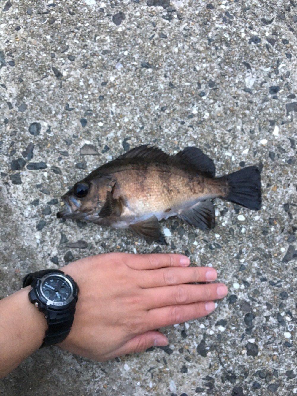 STさんの投稿画像,写っている魚はメバル