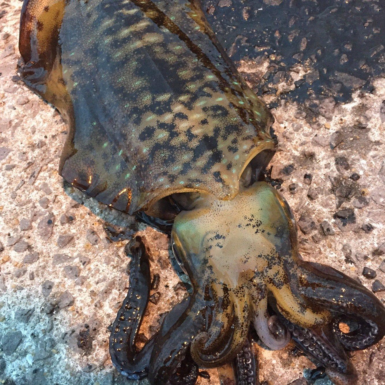 ミヤモトミチヒコさんの投稿画像,写っている魚はアオリイカ