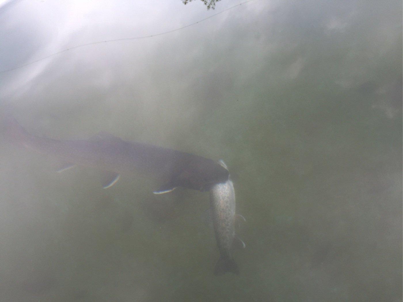 taketonbowさんの投稿画像,写っている魚はイワナ