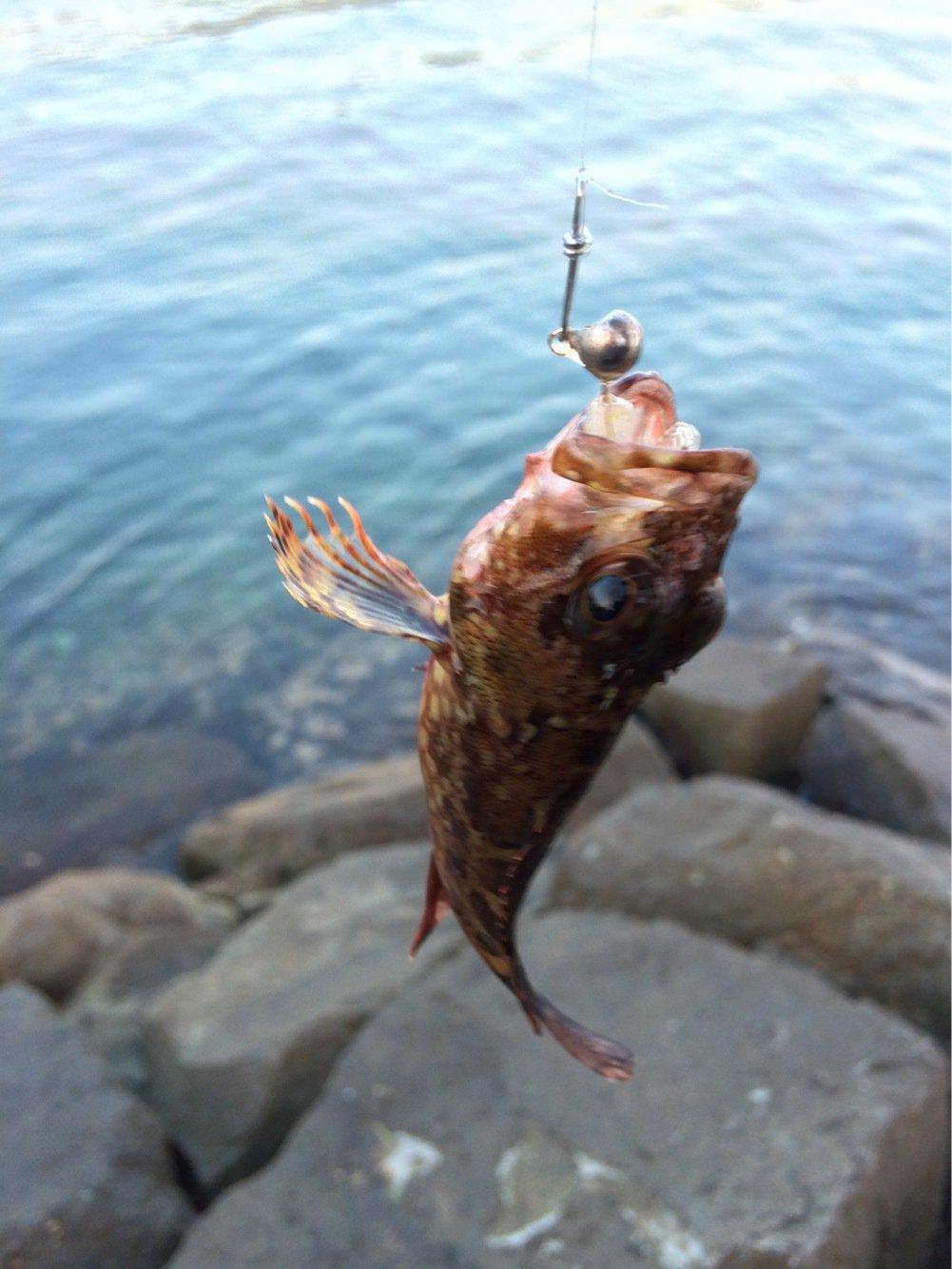 こうたさんの投稿画像,写っている魚はアヤメカサゴ
