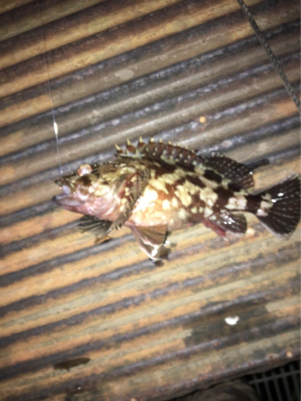 たかしさんの投稿画像,写っている魚はカサゴ