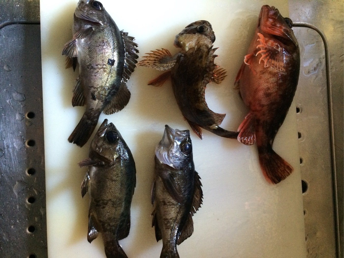 まさやさんの投稿画像,写っている魚はカサゴ