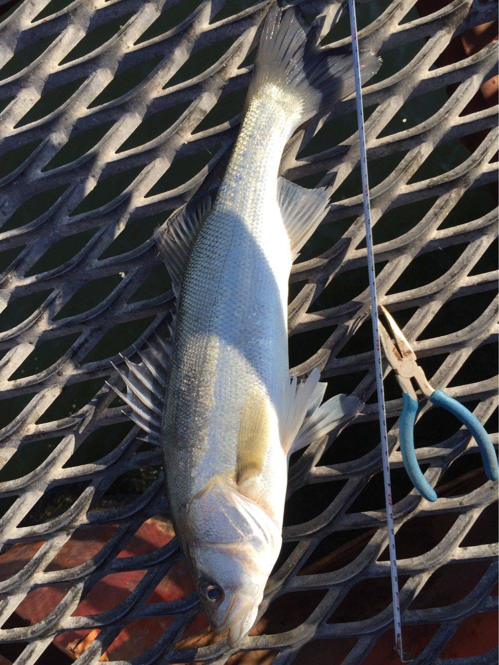 サビキさんの投稿画像,写っている魚は