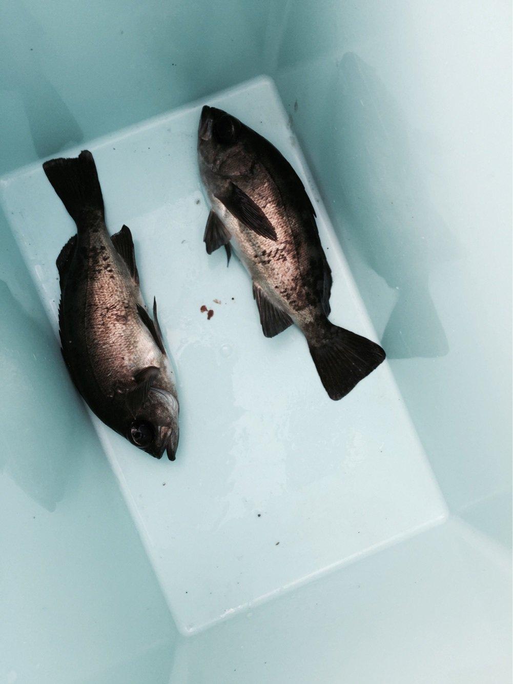 けーちゃんさんの投稿画像,写っている魚は
