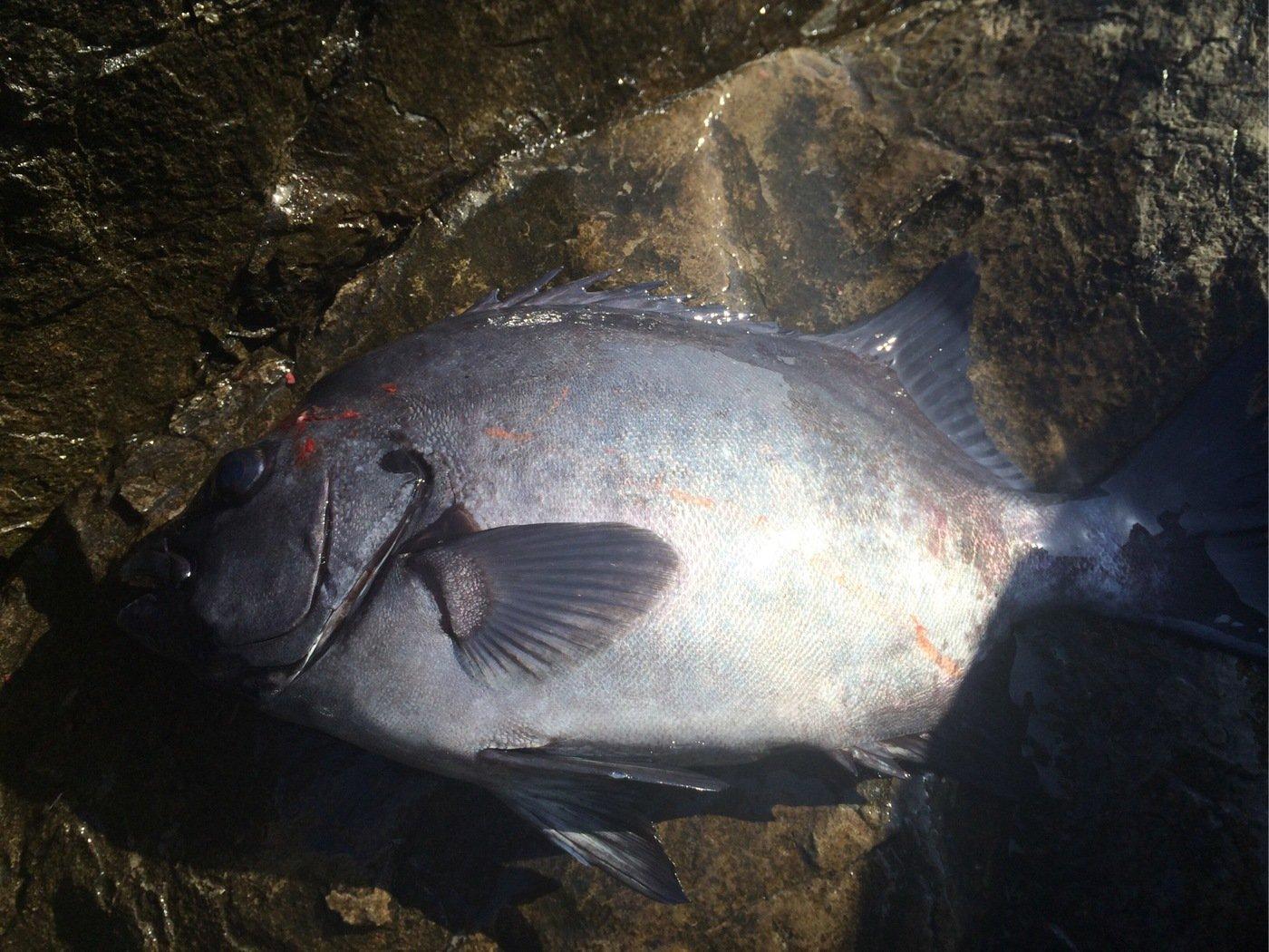 田辺 浩士さんの投稿画像,写っている魚はイシダイ