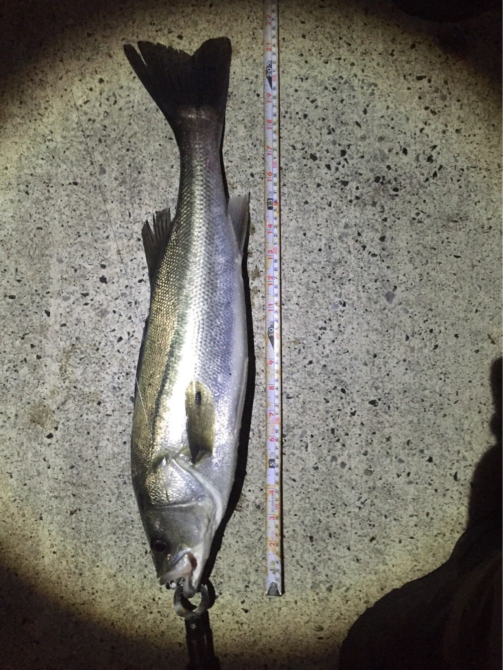 TFCさんの投稿画像,写っている魚はスズキ