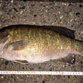 H-Iさんの新潟県南蒲原郡での釣果写真