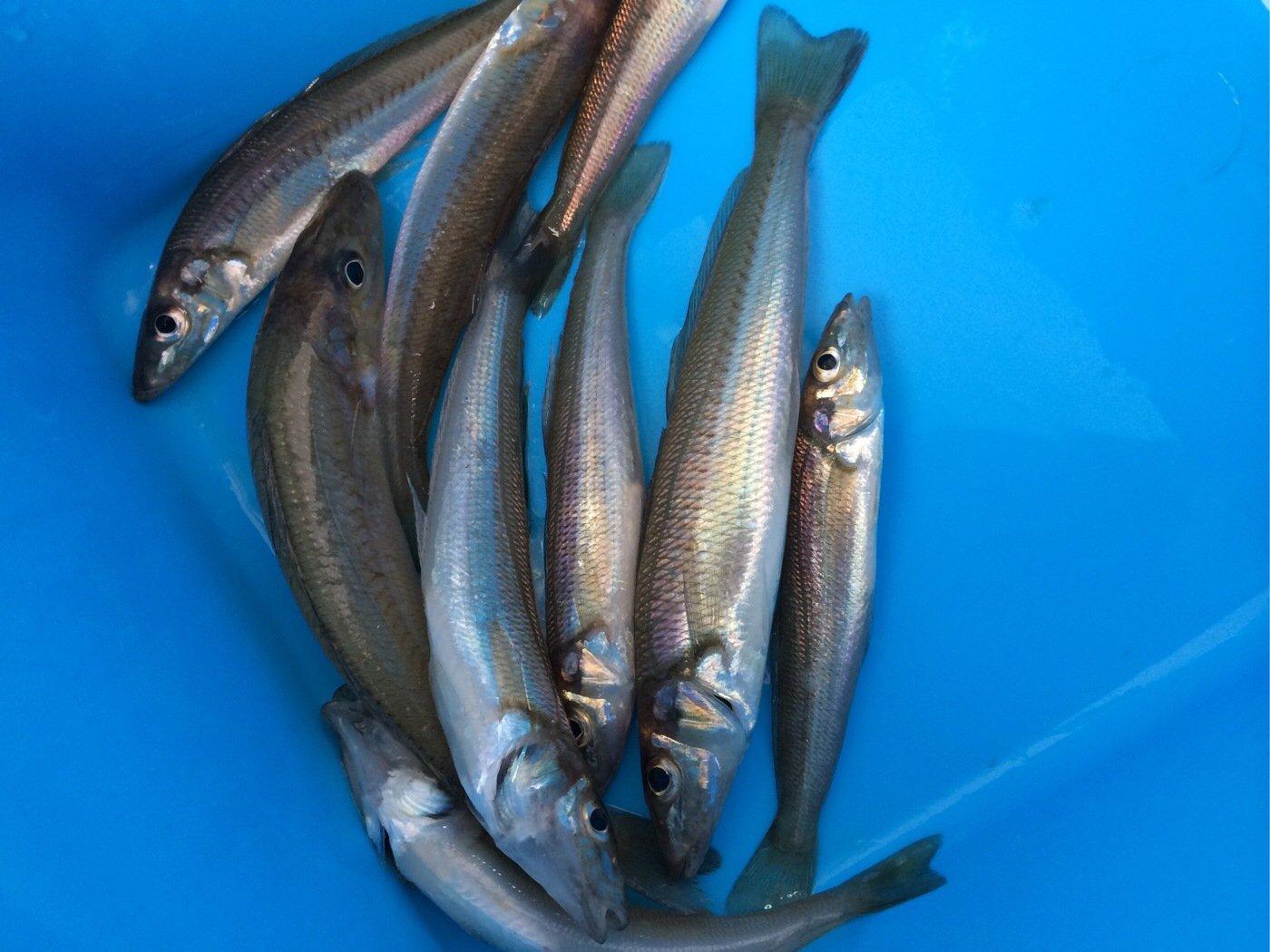 カズワタベさんの投稿画像,写っている魚はシロギス