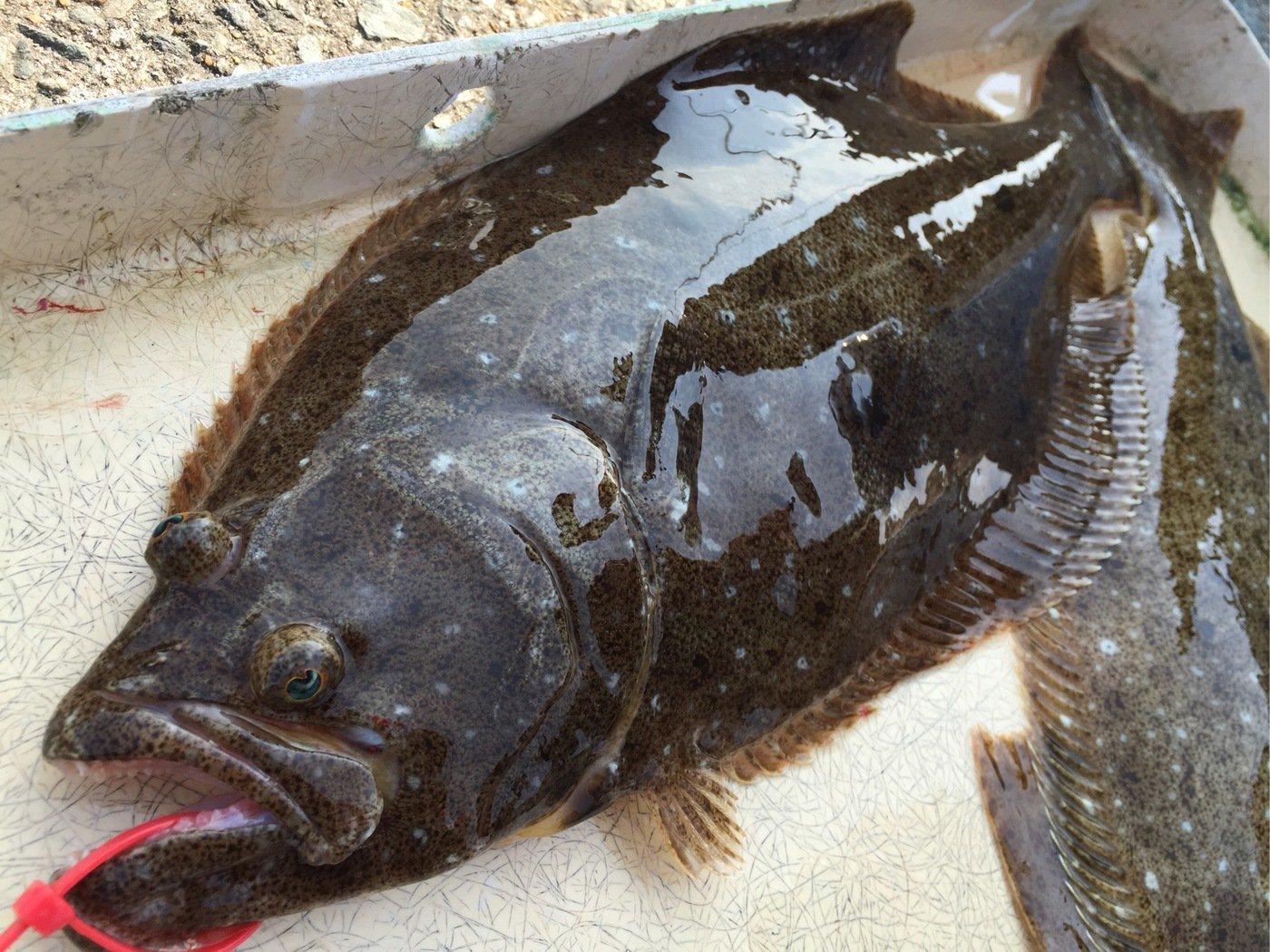 ミヤモトミチヒコさんの投稿画像,写っている魚はヒラメ