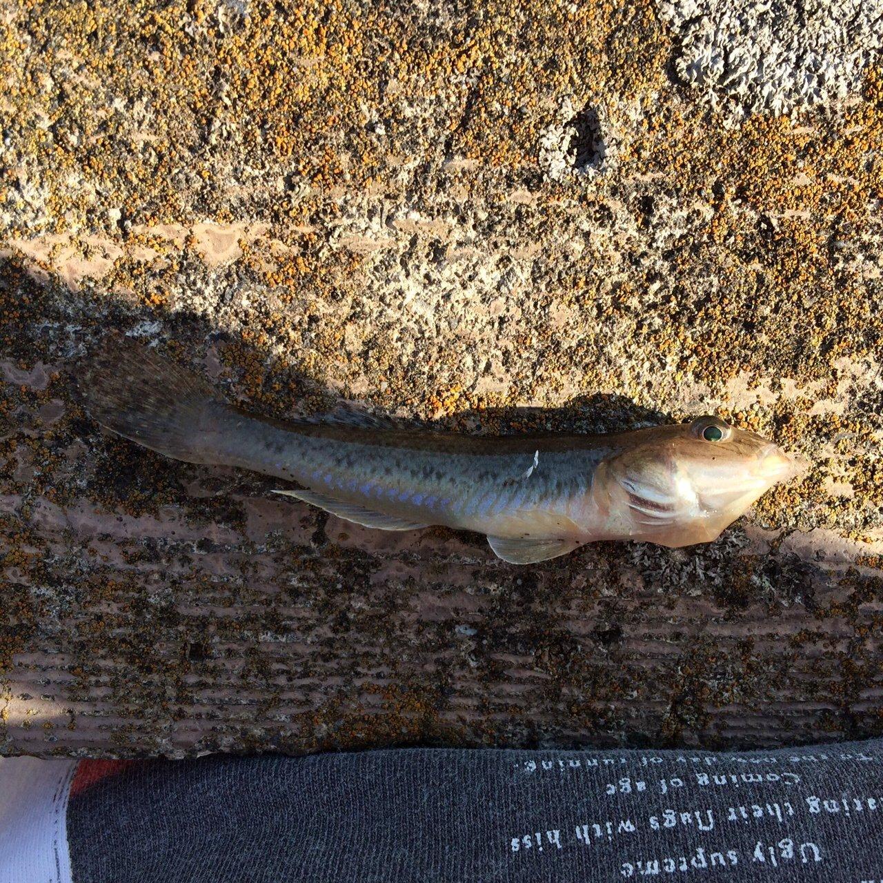 はるふぃーさんの投稿画像,写っている魚はマハゼ