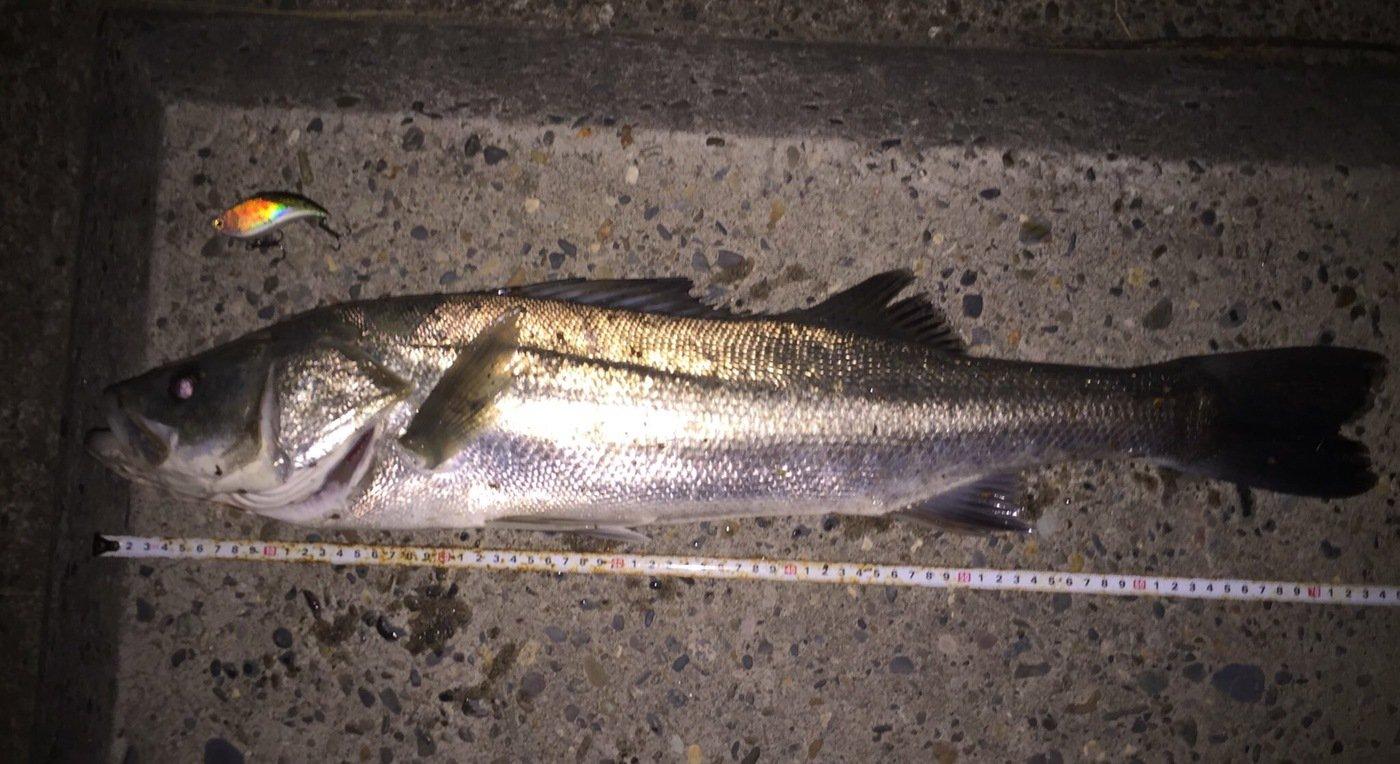 H-Iさんの投稿画像,写っている魚はスズキ