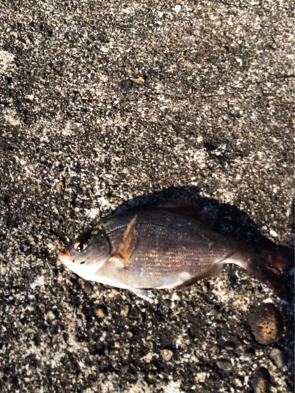 Alexさんの投稿画像,写っている魚はウミタナゴ