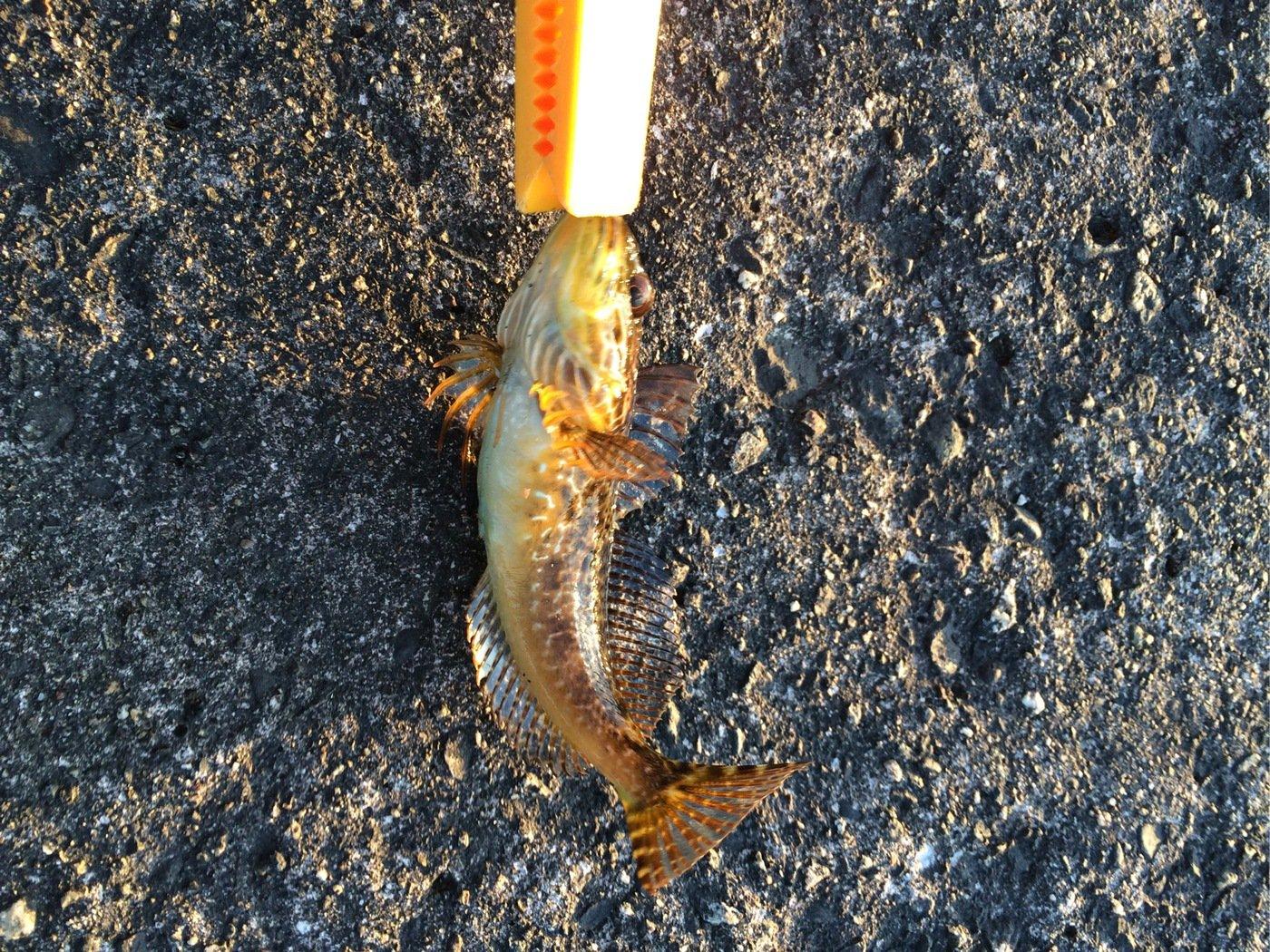 Alexさんの投稿画像,写っている魚はカジカ