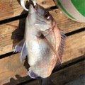 314-KTYMさんの神奈川県三浦郡でのマダイの釣果写真