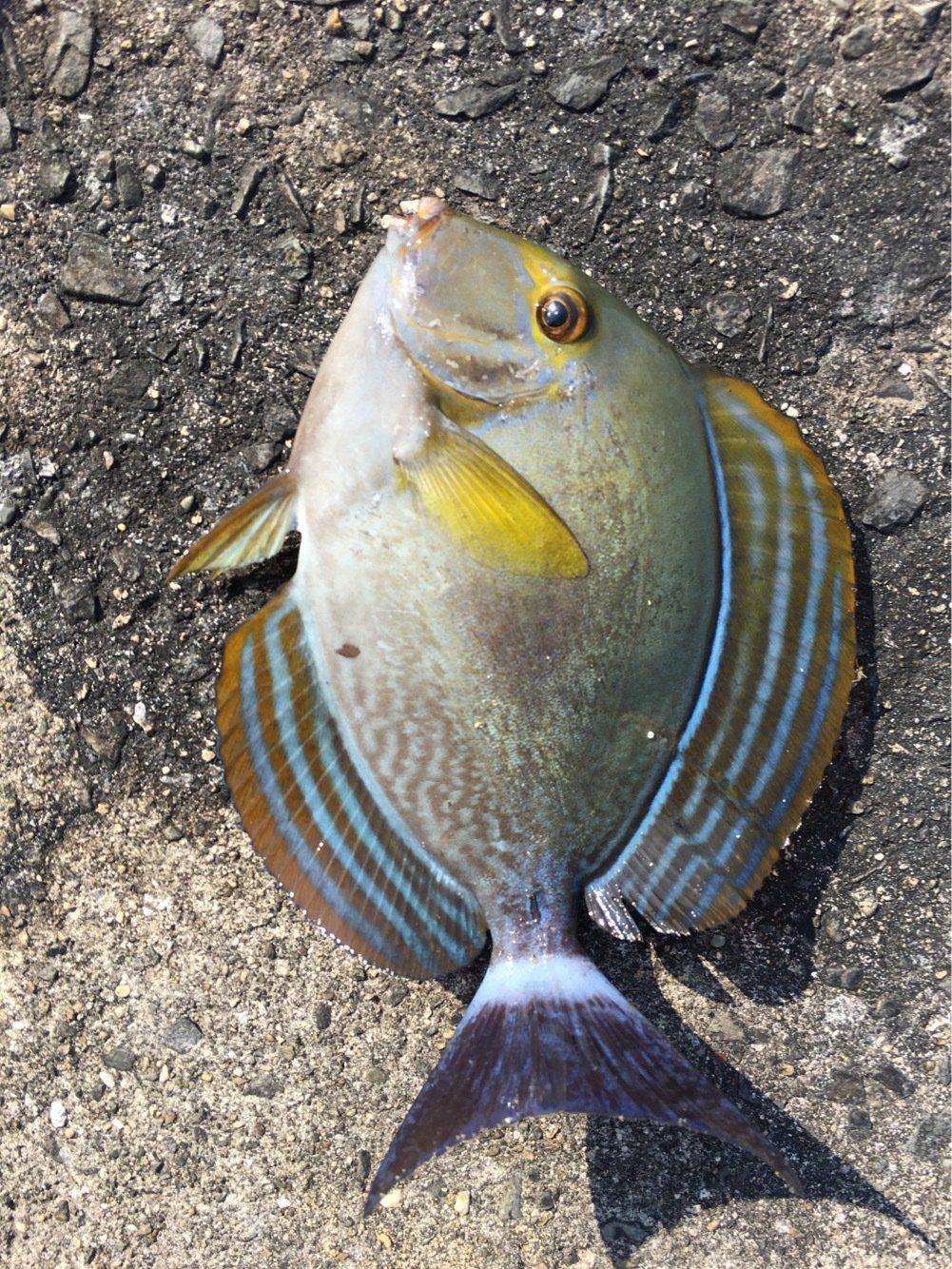 大五郎さんの投稿画像,写っている魚はニセカンランハギ