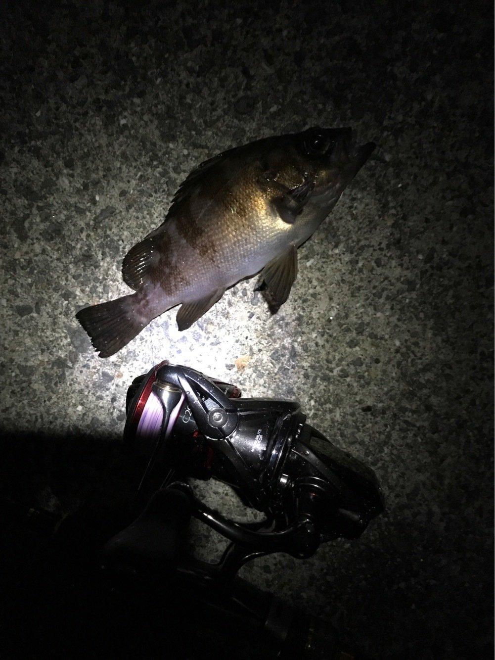 てつぽんさんの投稿画像,写っている魚はメバル