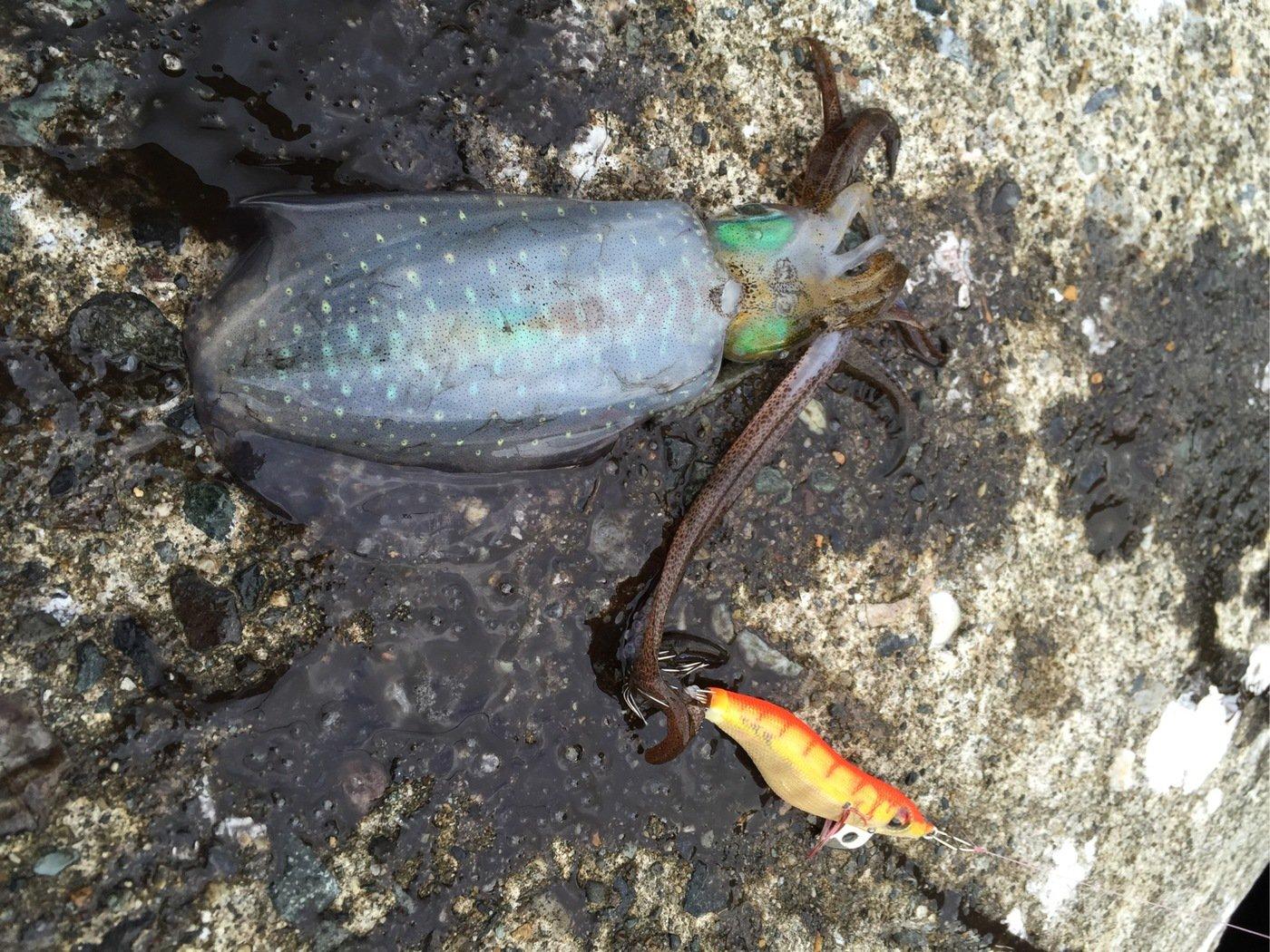 なかさんの投稿画像,写っている魚はアオリイカ