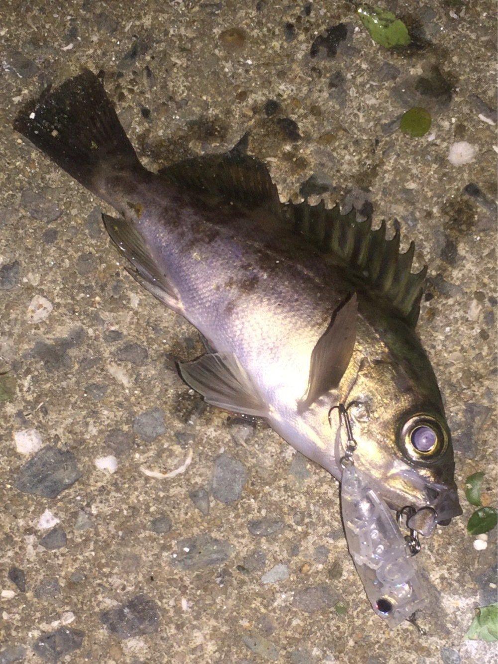 UGTさんの投稿画像,写っている魚はメバル