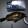 さっちゃんパパさんの青森県でのシロメバルの釣果写真
