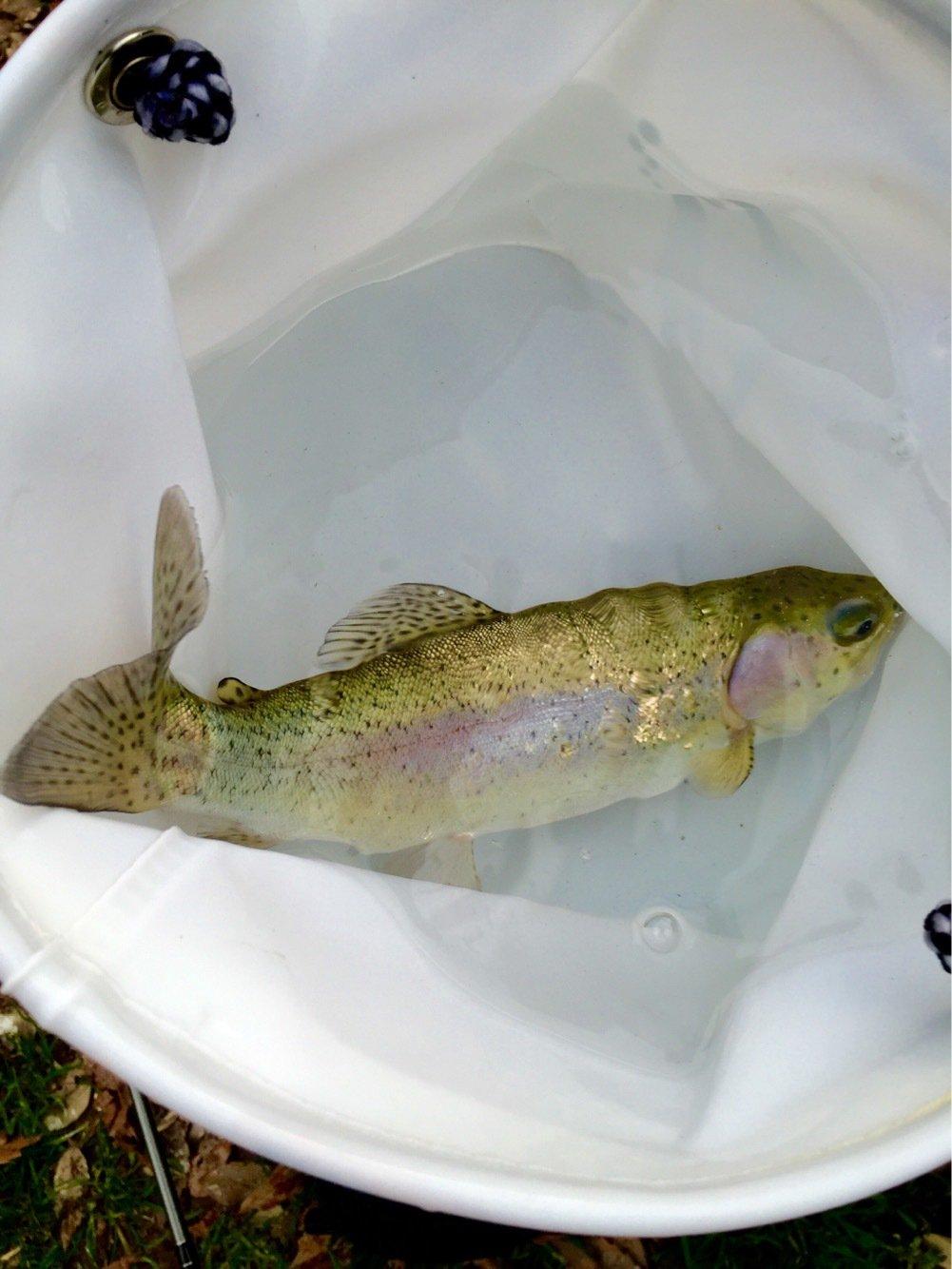 本多 聖一さんの投稿画像,写っている魚はニジマス