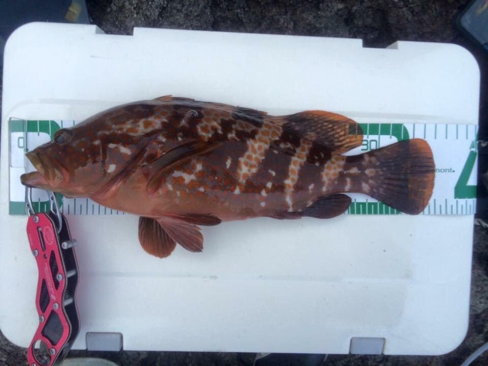 チンパパさんの投稿画像,写っている魚はキジハタ