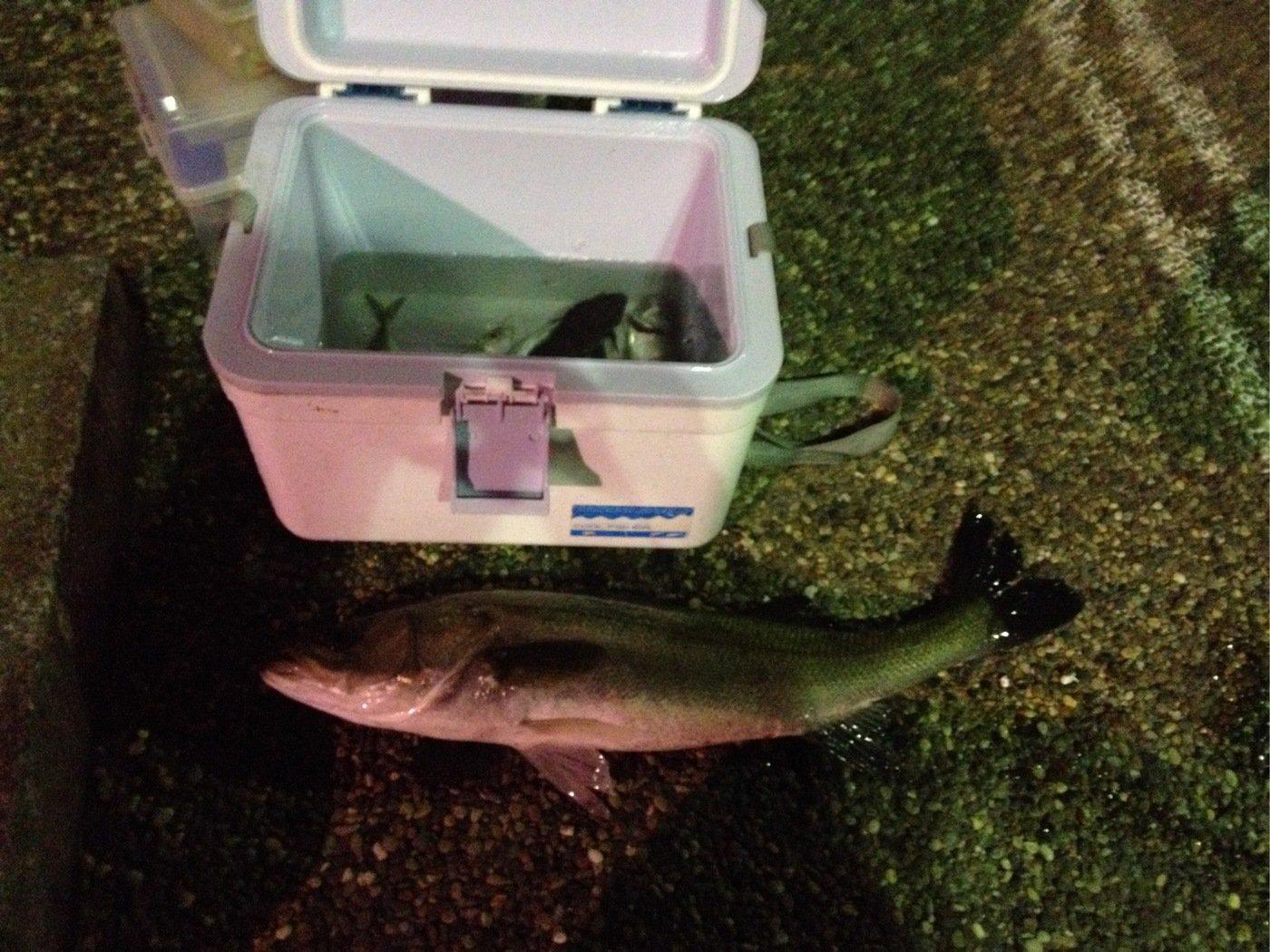 keiさんの投稿画像,写っている魚はスズキ