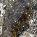 珊瑚さんの北海道岩内郡でのヒラメの釣果写真