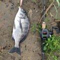 ナオキさんの鹿児島県薩摩川内市でのクロダイの釣果写真