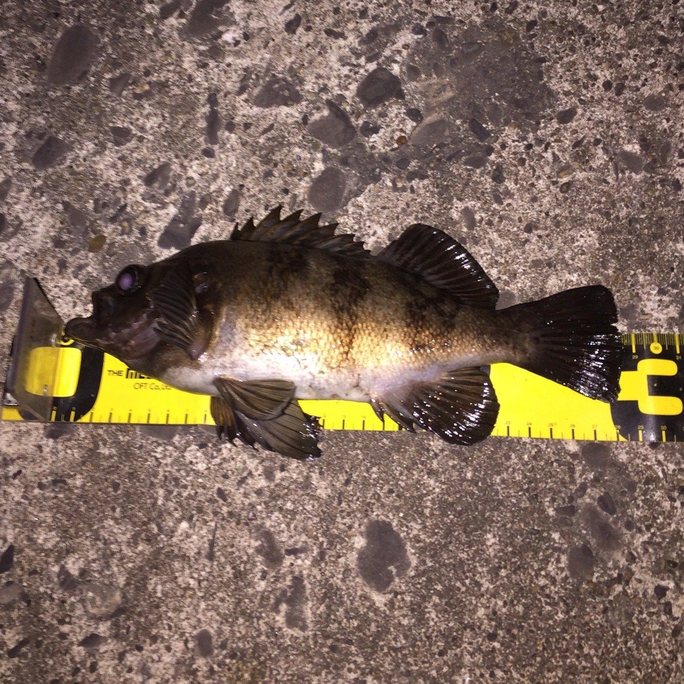 たけちゃんさんの投稿画像,写っている魚はメバル