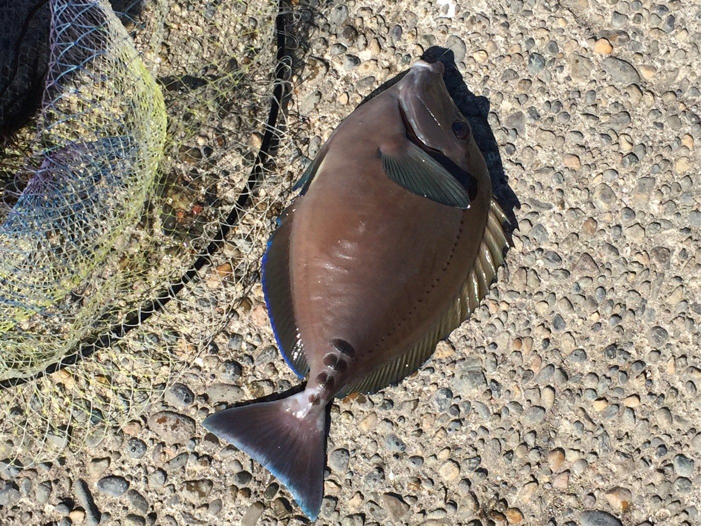吉ぞーさんの投稿画像,写っている魚はニザダイ
