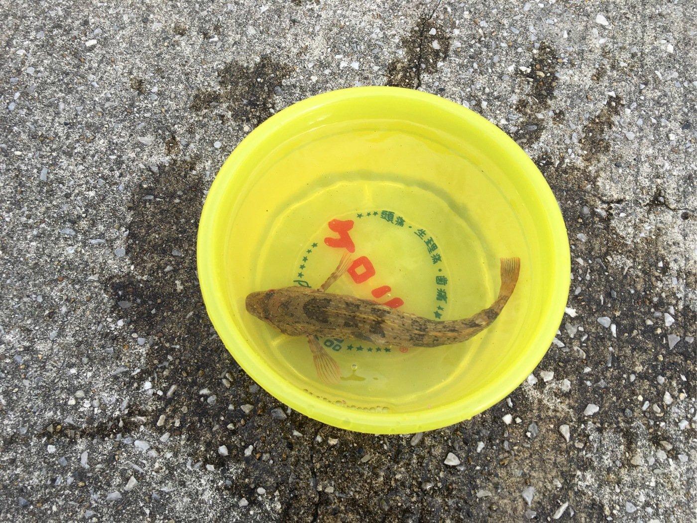 ベラ男さんの投稿画像,写っている魚はアイナメ