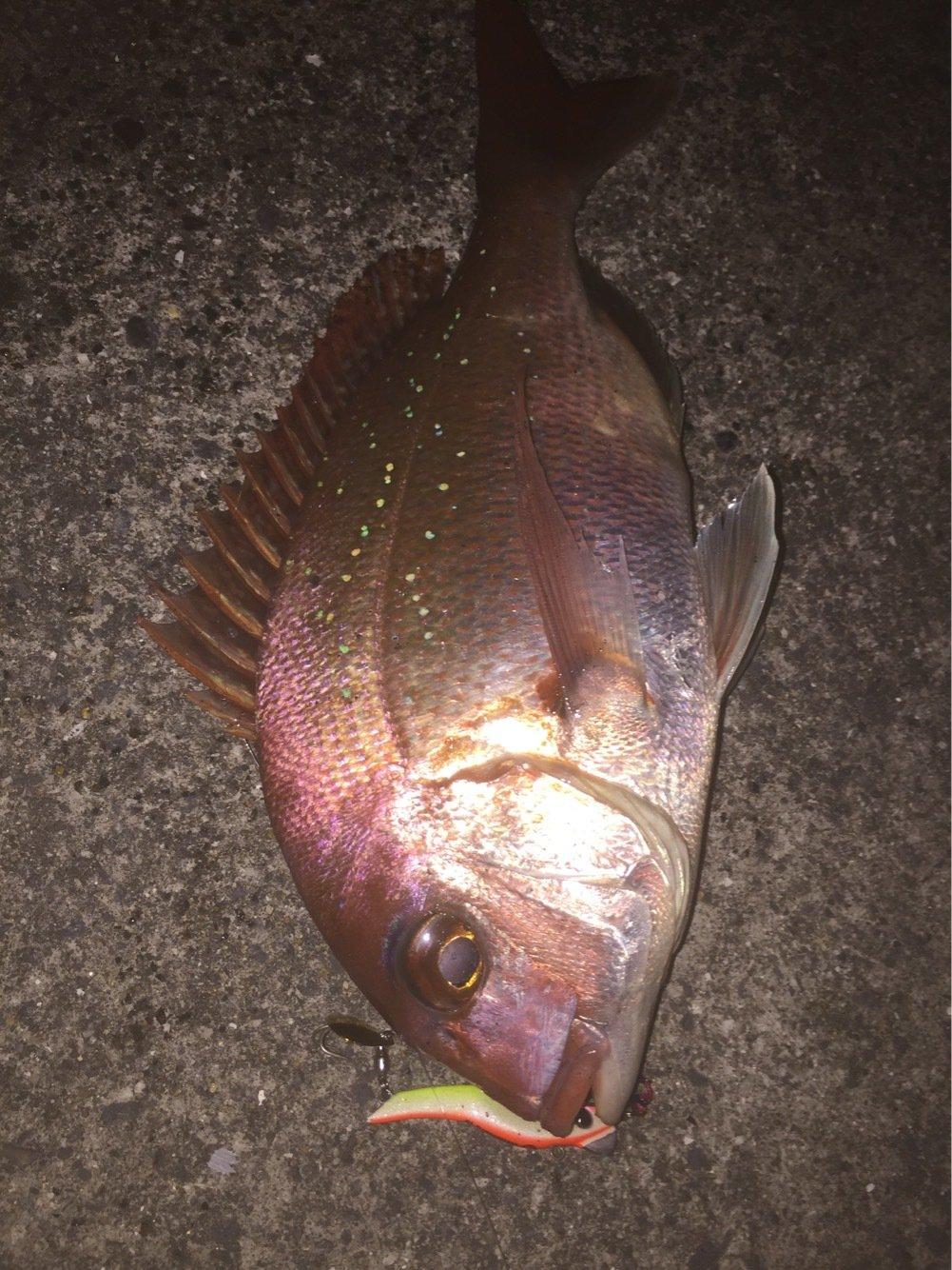 ピカリ山さんの投稿画像,写っている魚はマダイ